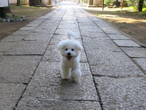 ビションフリーゼこいぬ子犬フントヒュッテ東京かわいいビションフリーゼ関東ビション文京区ビションフリーゼ画像ビションフリーゼおんなのこ姉妹メス子犬_794.jpg
