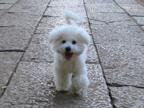 ビションフリーゼこいぬ子犬フントヒュッテ東京かわいいビションフリーゼ関東ビション文京区ビションフリーゼ画像ビションフリーゼおんなのこ姉妹メス子犬_795.jpg
