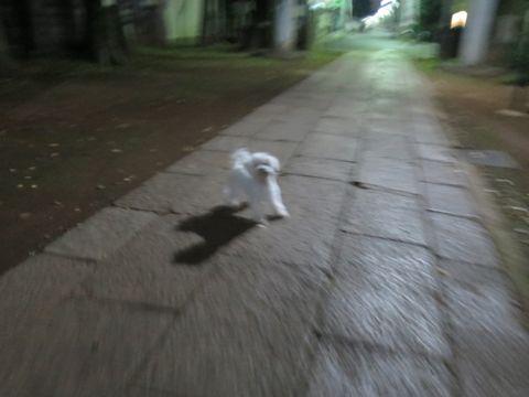 ビションフリーゼこいぬ子犬フントヒュッテ東京かわいいビションフリーゼ関東ビション文京区ビションフリーゼ画像ビションフリーゼおんなのこ姉妹メス子犬_796.jpg