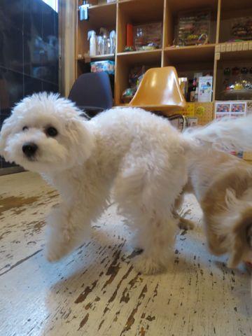 ビションフリーゼこいぬ子犬フントヒュッテ東京かわいいビションフリーゼ関東ビション文京区ビションフリーゼ画像ビションフリーゼおんなのこ姉妹メス子犬_798.jpg