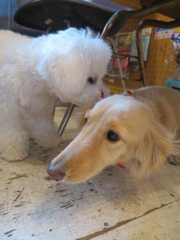 ビションフリーゼこいぬ子犬フントヒュッテ東京かわいいビションフリーゼ関東ビション文京区ビションフリーゼ画像ビションフリーゼおんなのこ姉妹メス子犬_801.jpg