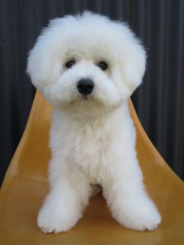 ビションフリーゼこいぬ子犬フントヒュッテ東京かわいいビションフリーゼ関東ビション文京区ビションフリーゼ画像ビションフリーゼおんなのこ姉妹メス子犬_802.jpg