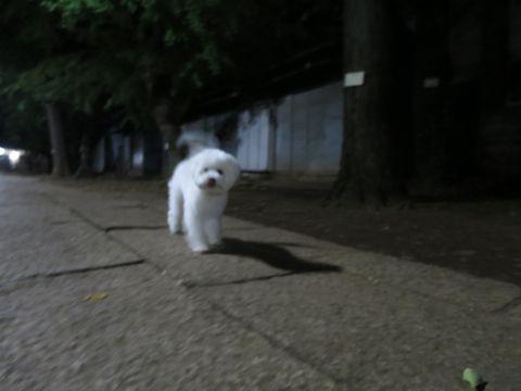 ビションフリーゼこいぬ子犬フントヒュッテ東京かわいいビションフリーゼ関東ビション文京区ビションフリーゼ画像ビションフリーゼおんなのこ姉妹メス子犬_803.jpg