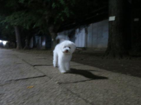 ビションフリーゼこいぬ子犬フントヒュッテ東京かわいいビションフリーゼ関東ビション文京区ビションフリーゼ画像ビションフリーゼおんなのこ姉妹メス子犬_804.jpg