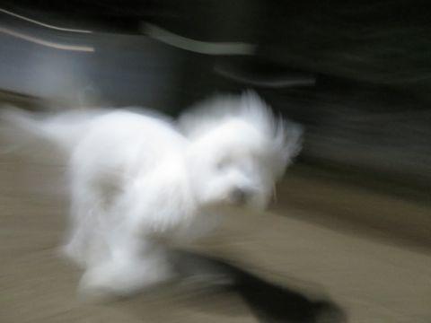 ビションフリーゼこいぬ子犬フントヒュッテ東京かわいいビションフリーゼ関東ビション文京区ビションフリーゼ画像ビションフリーゼおんなのこ姉妹メス子犬_805.jpg