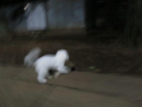 ビションフリーゼこいぬ子犬フントヒュッテ東京かわいいビションフリーゼ関東ビション文京区ビションフリーゼ画像ビションフリーゼおんなのこ姉妹メス子犬_806.jpg