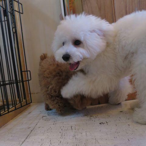 ビションフリーゼこいぬ子犬フントヒュッテ東京かわいいビションフリーゼ関東ビション文京区ビションフリーゼ画像ビションフリーゼおんなのこ姉妹メス子犬_807.jpg