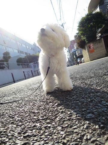 ビションフリーゼこいぬ子犬フントヒュッテ東京かわいいビションフリーゼ関東ビション文京区ビションフリーゼ画像ビションフリーゼおんなのこ姉妹メス子犬_808.jpg