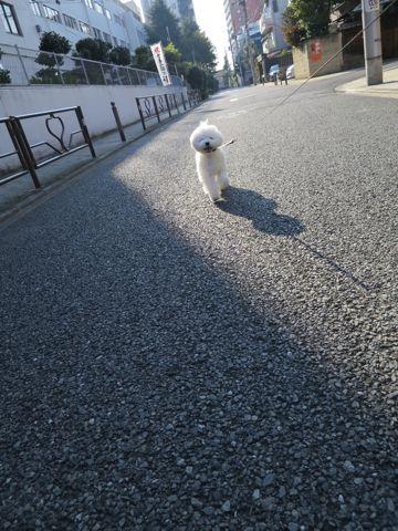 ビションフリーゼこいぬ子犬フントヒュッテ東京かわいいビションフリーゼ関東ビション文京区ビションフリーゼ画像ビションフリーゼおんなのこ姉妹メス子犬_809.jpg