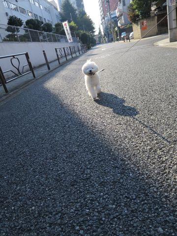 ビションフリーゼこいぬ子犬フントヒュッテ東京かわいいビションフリーゼ関東ビション文京区ビションフリーゼ画像ビションフリーゼおんなのこ姉妹メス子犬_810.jpg