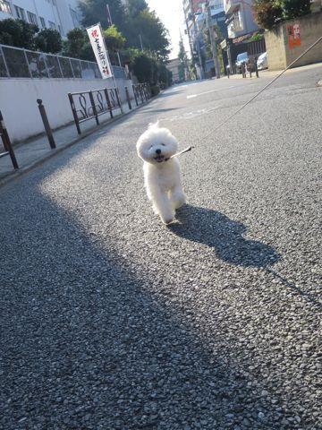 ビションフリーゼこいぬ子犬フントヒュッテ東京かわいいビションフリーゼ関東ビション文京区ビションフリーゼ画像ビションフリーゼおんなのこ姉妹メス子犬_811.jpg