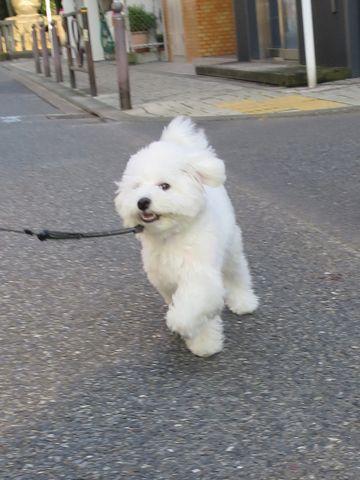 ビションフリーゼこいぬ子犬フントヒュッテ東京かわいいビションフリーゼ関東ビション文京区ビションフリーゼ画像ビションフリーゼおんなのこ姉妹メス子犬_813.jpg