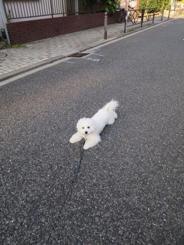 ビションフリーゼこいぬ子犬フントヒュッテ東京かわいいビションフリーゼ関東ビション文京区ビションフリーゼ画像ビションフリーゼおんなのこ姉妹メス子犬_814.jpg