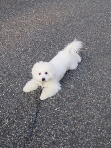 ビションフリーゼこいぬ子犬フントヒュッテ東京かわいいビションフリーゼ関東ビション文京区ビションフリーゼ画像ビションフリーゼおんなのこ姉妹メス子犬_815.jpg