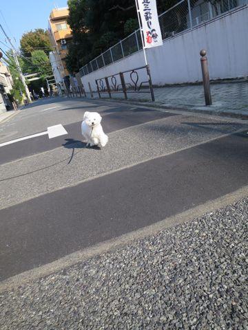ビションフリーゼこいぬ子犬フントヒュッテ東京かわいいビションフリーゼ関東ビション文京区ビションフリーゼ画像ビションフリーゼおんなのこ姉妹メス子犬_816.jpg