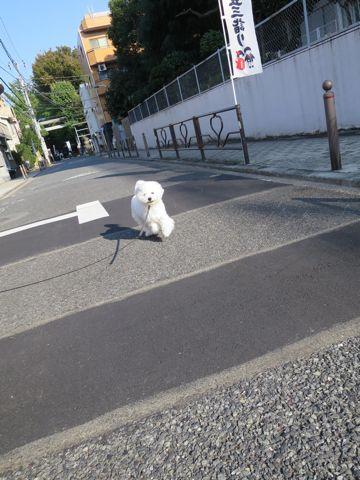 ビションフリーゼこいぬ子犬フントヒュッテ東京かわいいビションフリーゼ関東ビション文京区ビションフリーゼ画像ビションフリーゼおんなのこ姉妹メス子犬_817.jpg