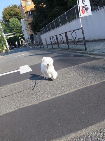 ビションフリーゼこいぬ子犬フントヒュッテ東京かわいいビションフリーゼ関東ビション文京区ビションフリーゼ画像ビションフリーゼおんなのこ姉妹メス子犬_818.jpg