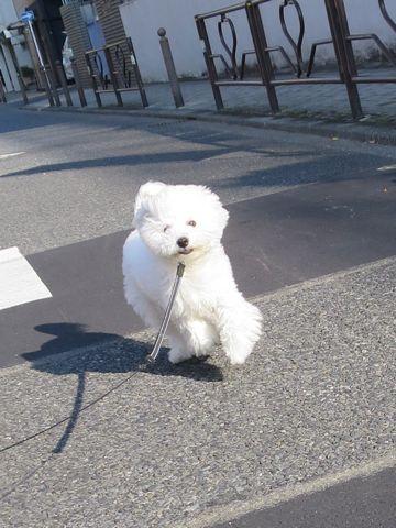 ビションフリーゼこいぬ子犬フントヒュッテ東京かわいいビションフリーゼ関東ビション文京区ビションフリーゼ画像ビションフリーゼおんなのこ姉妹メス子犬_819.jpg