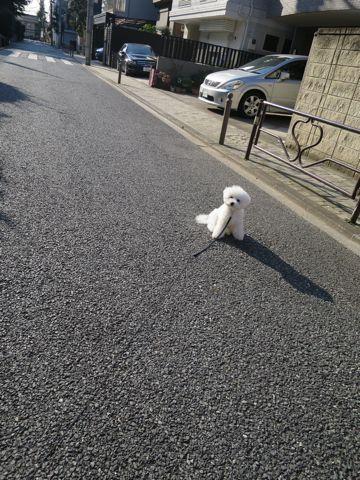 ビションフリーゼこいぬ子犬フントヒュッテ東京かわいいビションフリーゼ関東ビション文京区ビションフリーゼ画像ビションフリーゼおんなのこ姉妹メス子犬_820.jpg
