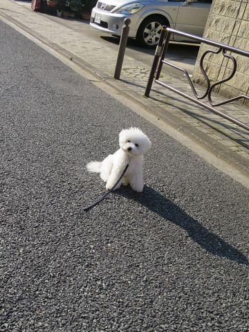 ビションフリーゼこいぬ子犬フントヒュッテ東京かわいいビションフリーゼ関東ビション文京区ビションフリーゼ画像ビションフリーゼおんなのこ姉妹メス子犬_821.jpg