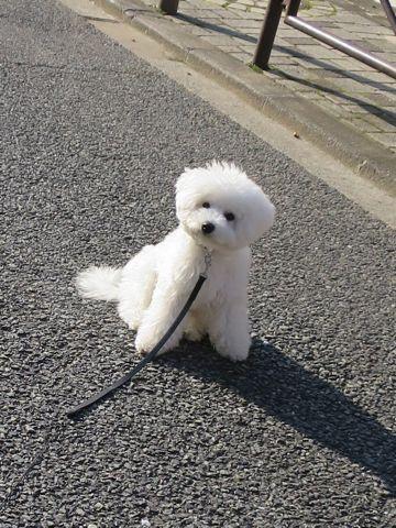 ビションフリーゼこいぬ子犬フントヒュッテ東京かわいいビションフリーゼ関東ビション文京区ビションフリーゼ画像ビションフリーゼおんなのこ姉妹メス子犬_822.jpg