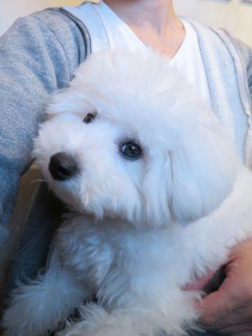 ビションフリーゼこいぬ子犬フントヒュッテ東京かわいいビションフリーゼ関東ビション文京区ビションフリーゼ画像ビションフリーゼおんなのこ姉妹メス子犬_823.jpg