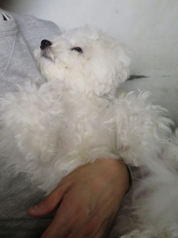 ビションフリーゼこいぬ子犬フントヒュッテ東京かわいいビションフリーゼ関東ビション文京区ビションフリーゼ画像ビションフリーゼおんなのこ姉妹メス子犬_825.jpg