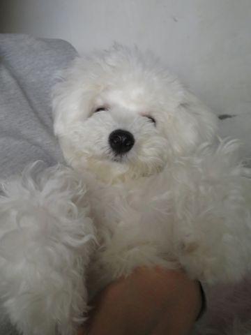 ビションフリーゼこいぬ子犬フントヒュッテ東京かわいいビションフリーゼ関東ビション文京区ビションフリーゼ画像ビションフリーゼおんなのこ姉妹メス子犬_826.jpg