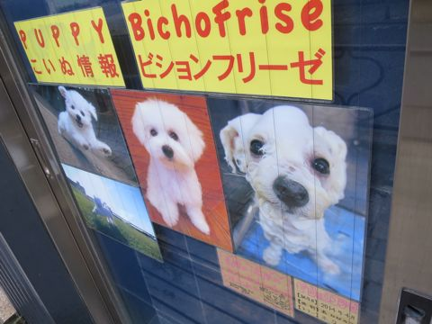 ビションフリーゼこいぬ子犬フントヒュッテ東京かわいいビションフリーゼ関東ビション文京区ビションフリーゼ画像ビションフリーゼおんなのこ姉妹メス子犬_827.jpg