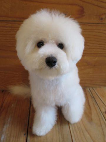 ビションフリーゼこいぬ子犬フントヒュッテ東京かわいいビションフリーゼ関東ビション文京区ビションフリーゼ画像ビションフリーゼおんなのこ姉妹メス子犬_831.jpg