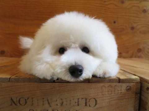 ビションフリーゼこいぬ子犬フントヒュッテ東京かわいいビションフリーゼ関東ビション文京区ビションフリーゼ画像ビションフリーゼおんなのこ姉妹メス子犬_833.jpg