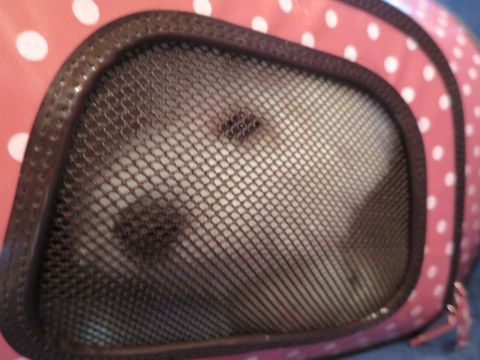 ビションフリーゼこいぬ子犬フントヒュッテ東京かわいいビションフリーゼ関東ビション文京区ビションフリーゼ画像ビションフリーゼおんなのこ姉妹メス子犬_836.jpg