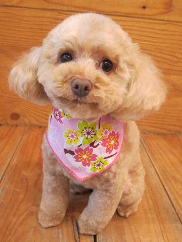 トイプードルトリミング文京区フントヒュッテ都内トリミングサロン東京かわいいトイプードル画像トイプードルカット画像駒込犬カットモデル関東Toy Poodle31.jpg