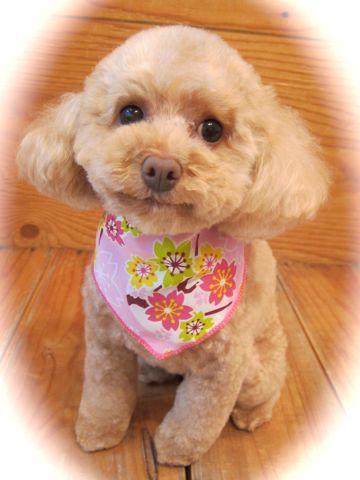 トイプードルトリミング文京区フントヒュッテ都内トリミングサロン東京かわいいトイプードル画像トイプードルカット画像駒込犬カットモデル関東Toy Poodle32.jpg