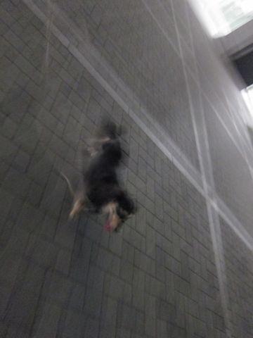 ダックストリミング東京ダックスフントカニヘン都内ペットホテル様子おさんぽ犬おあずかり料金文京区フントヒュッテ駒込かわいいカニヘンダックス画像hundehutte35.jpg