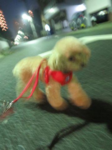 トイプードルトリミング文京区フントヒュッテ都内 東京かわいいトイプードル画像トイプードルカット画像駒込犬カットモデル ペットホテル様子犬ホテル25.jpg