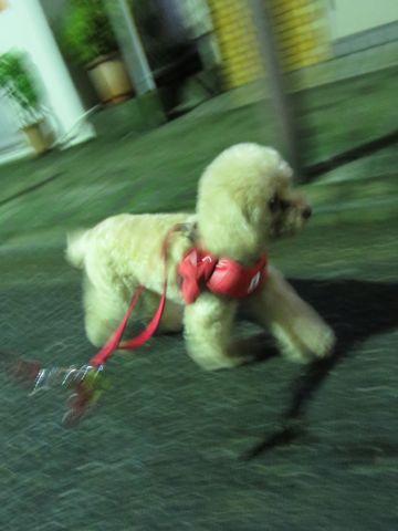 トイプードルトリミング文京区フントヒュッテ都内 東京かわいいトイプードル画像トイプードルカット画像駒込犬カットモデル ペットホテル様子犬ホテル26.jpg