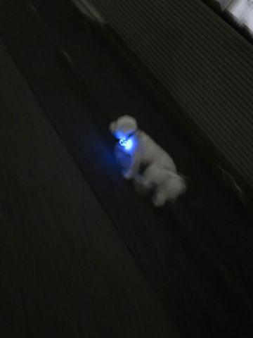 ホテル犬駒込フントヒュッテ東京ペットホテル文京区犬おあずかり様子おさんぽペットホテル料金ビションフリーゼトリミング画像ビションフリーゼカット都内15.jpg