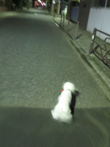 ホテル犬駒込フントヒュッテ東京ペットホテル文京区犬おあずかり様子おさんぽペットホテル料金ビションフリーゼトリミング画像ビションフリーゼカット都内31.jpg