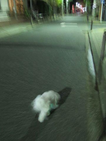 ホテル犬駒込フントヒュッテ東京ペットホテル文京区犬おあずかり様子おさんぽペットホテル料金ビションフリーゼトリミング画像ビションフリーゼカット都内32.jpg