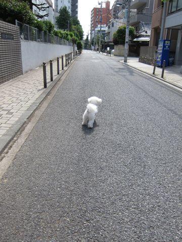 ビションフリーゼトリミング文京区フントヒュッテトリミングサロン東京ビションフリーゼカットスタイルモデル犬ハーブパック効果ペットサロン駒込犬歯磨き99.jpg