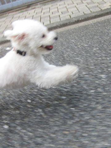 ビションフリーゼトリミング文京区フントヒュッテトリミングサロン東京ビションフリーゼカットスタイルモデル犬ハーブパック効果ペットサロン駒込犬歯磨き137.jpg