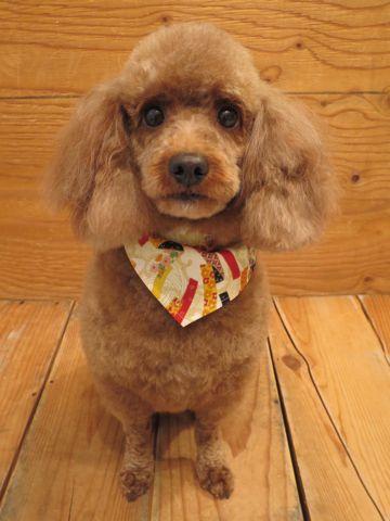 トイプードルトリミング文京区フントヒュッテトリミング新規予約料金表トイプードルカット画像トイ・プードルレッド東京犬のトリミング都内犬の美容駒込3.jpg