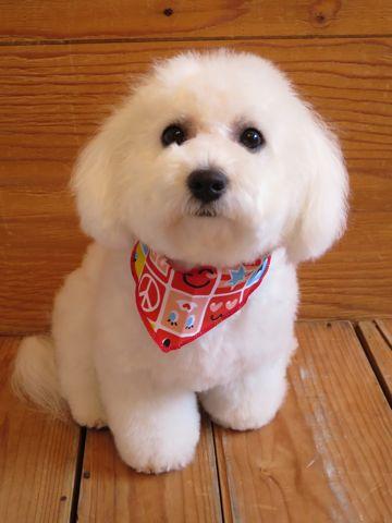 ビションフリーゼフントヒュッテ東京かわいいビション子犬関東こいぬ文京区ビションフリーゼ画像ビションフリーゼおんなのこメス子犬生まれてる都内Bichon Frise 627.jpg
