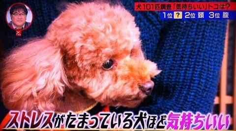犬の気持ち いぬのきもち イヌのきもち 犬101匹調査「気持ちいい」トコは? 首 頭 腹 動物のツボに詳しい獣医師石野孝先生 犬は肩こりがひどい 犬のツボ 4.jpg