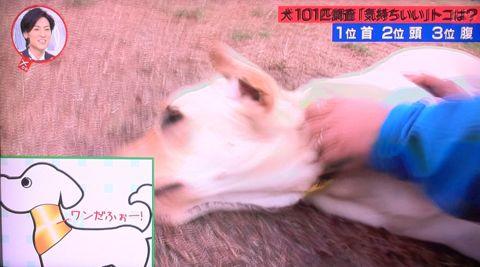 犬の気持ち いぬのきもち イヌのきもち 犬101匹調査「気持ちいい」トコは? 首 頭 腹 動物のツボに詳しい獣医師石野孝先生 犬は肩こりがひどい 犬のツボ 10.jpg