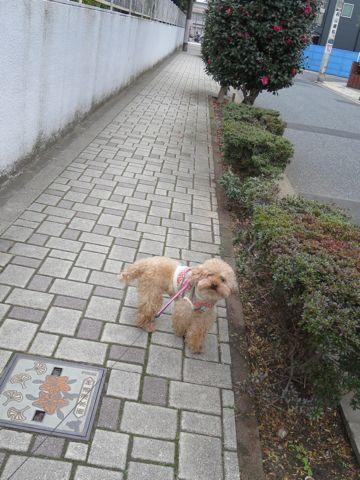 トイ・プードルトリミング文京区カットモデル犬関東トリミングサロン駒込フントヒュッテトイプードル画像トイプードルカットスタイルベアカットモデル11.jpg