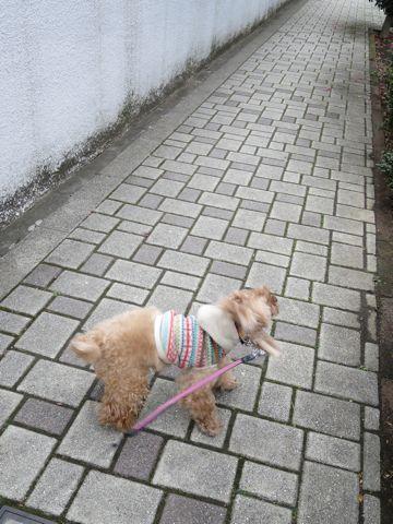 トイ・プードルトリミング文京区カットモデル犬関東トリミングサロン駒込フントヒュッテトイプードル画像トイプードルカットスタイルベアカットモデル12.jpg