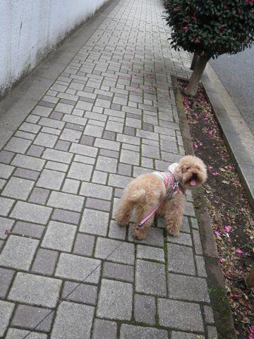 トイ・プードルトリミング文京区カットモデル犬関東トリミングサロン駒込フントヒュッテトイプードル画像トイプードルカットスタイルベアカットモデル13.jpg