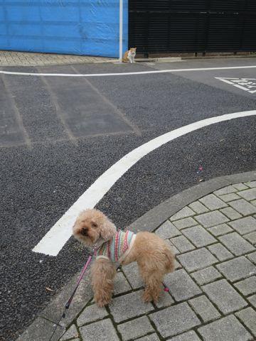 トイ・プードルトリミング文京区カットモデル犬関東トリミングサロン駒込フントヒュッテトイプードル画像トイプードルカットスタイルベアカットモデル14.jpg